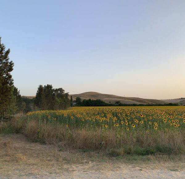 Crete Senesi - Sunflowers