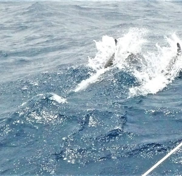 Sailing in Italy - Dolphins